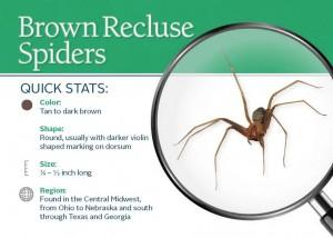 890_Brown_Recluse_Spiders_img_0-300x214